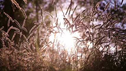 the sun s rays shine through the spikelets - camera is up