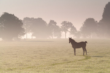 little foal on misty sunrise pasture