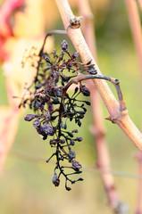 Autunno uva