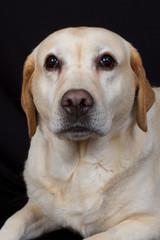 Labrador en pleine méditation
