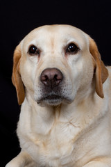 Labrador pétrifié