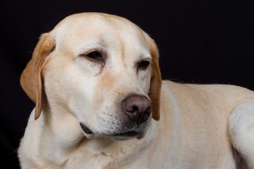 Labrador fatigué