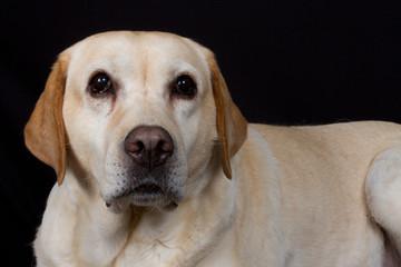 Labrador heureux