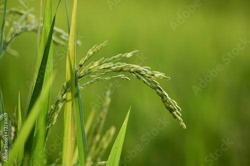 Rice plant with grain - 72781639