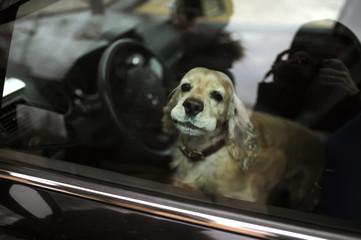 cocker-spaniel in the car