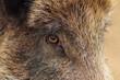 closeup of a wild boar