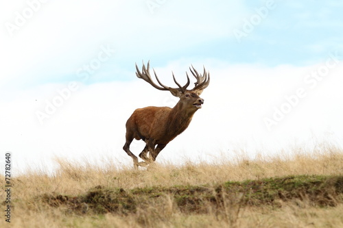 Poster Hert male red deer running wild
