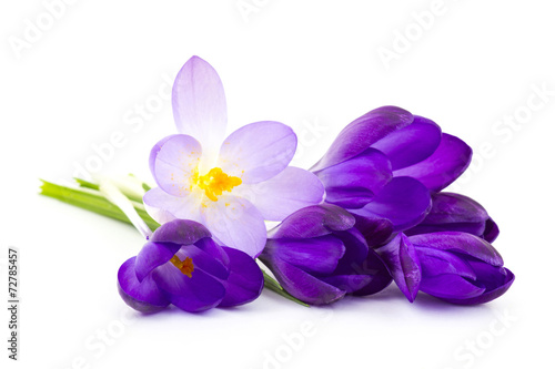 Papiers peints Crocus crocus on white background - fresh spring flowers