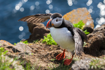 Puffin wants to fly, Iceland