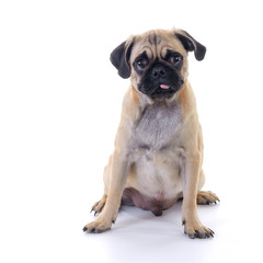Pug dog sitting over white