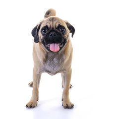 Pug dog standing over white