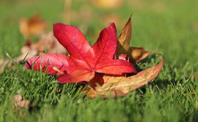 rotes Ahornblatt auf Wiese