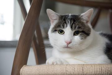Portrait of domestic shorthair cat