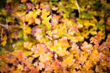oak autumn colour