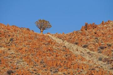 Köcherbaum (Aloe dichotoma), Namibrand Nature Reserve