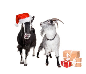 Portrait Of Goats in christmas hat On White