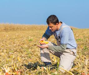 Farmer inspecting corn maize cobs