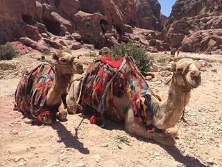 Dromedarios en Petra, Jordania