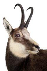 Gams - Rupicapra