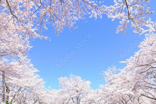 満開の桜 - 72801605