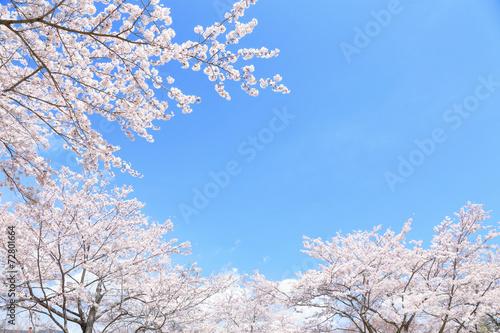 Foto op Plexiglas Kersen 満開の桜
