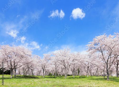 Deurstickers Cultuur 満開の桜