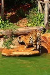 Tigers are on the edge of a pond in the woods.