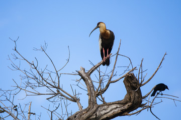 Buff-necked Ibis in Bare Tree with Crow