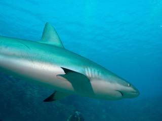 Caribbean reef sharks (Carcharhinus perezi) undersea