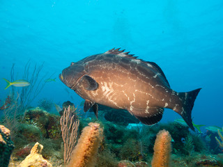 big black grouper (Mycteroperca bonaci)