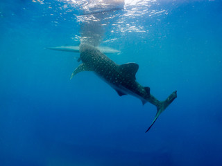 Whale shark is a slow-moving filter feeding shark