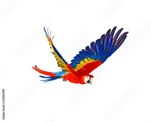 Colourful flying parrot isolated on white - 72805409