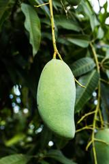 Mango fruit on tree