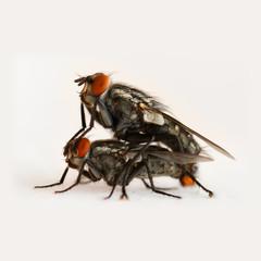 Zwei Fliegen bei der Paarung