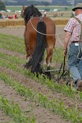 Pflügen mit Pferden