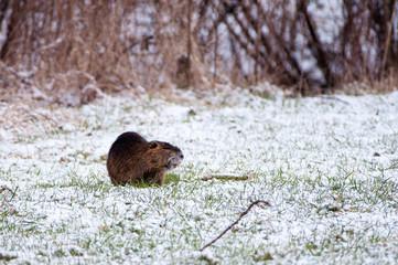 Ragondin dans la neige