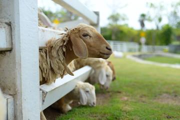 Lovely sheep