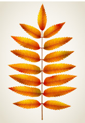 Single isolated autumn rowan leaf