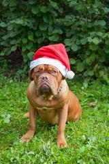 dog breed Dogue de Bordeaux dog