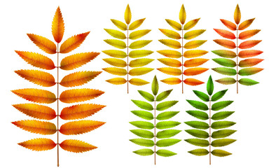 Collection of colorful autumn rowan leaves