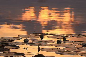 water lilies sunset