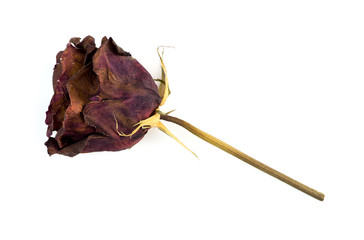 Single dead dried rose flower isolated on white