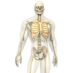 Menschliche Anatomie - Lunge