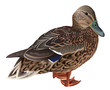 Wild duck female isolated - 72820276