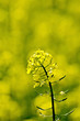 Colza flower on yellow field