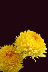 chrysanthmum
