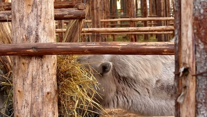 camel eating hay