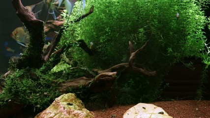 Algae in the home Aquarium