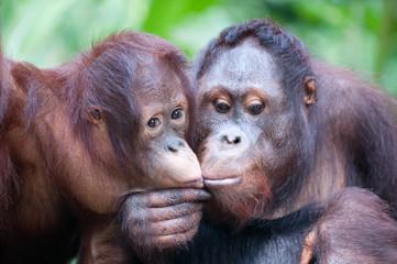 Two adult orangutans share a kiss