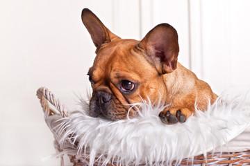 französische Bulldogge im Körbchen